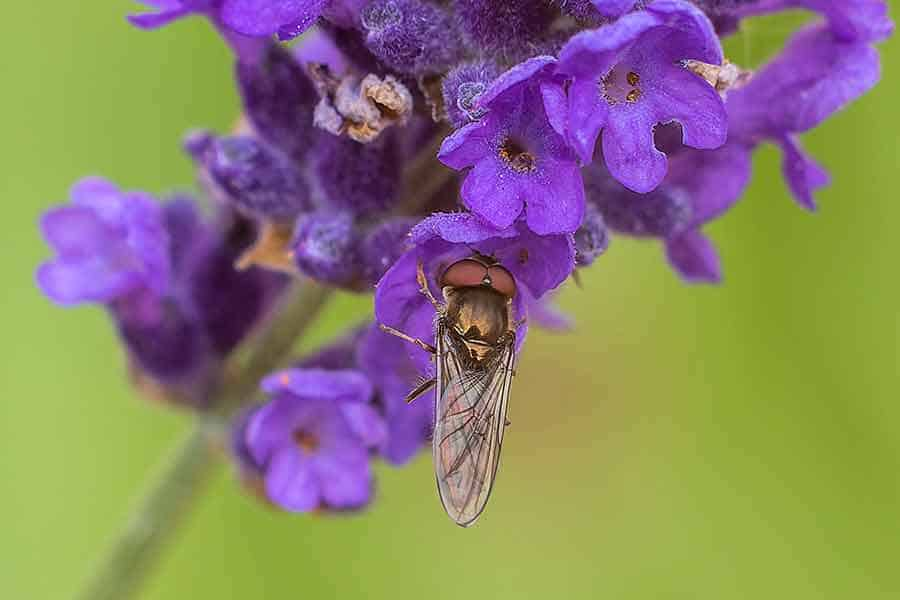 Fly-on-Lavender-150mm-with-54mm-extension-tunes