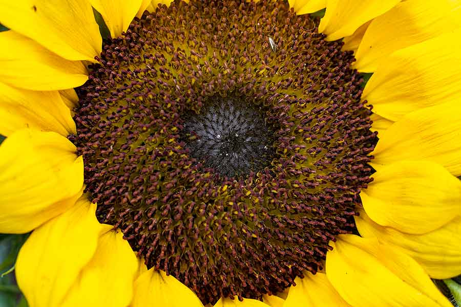 Small-Sunflower-150mm-with-54mm-extension-tunes